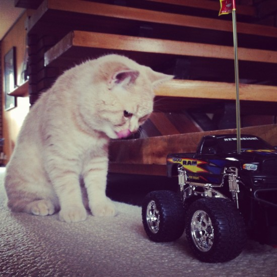 mr bear the cream british shorthair