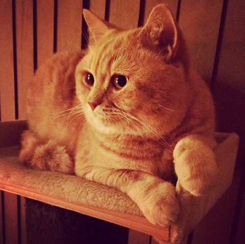 mr bear british shorthair cat