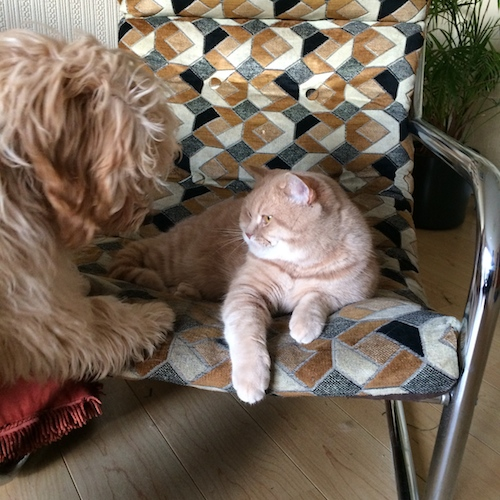 cockapoo and british shorthair cat