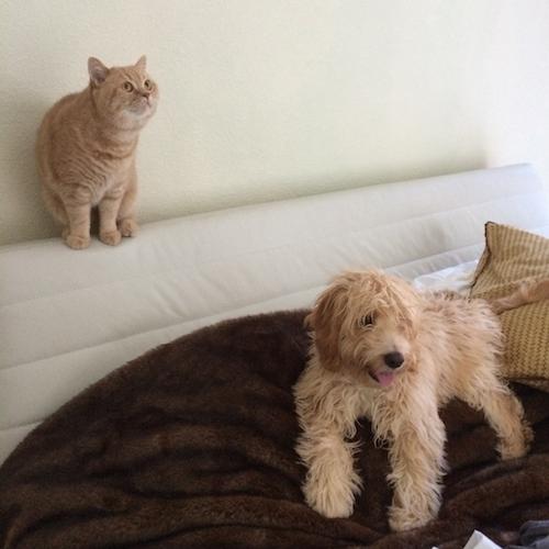 cockapoo puppy british shorthair cat