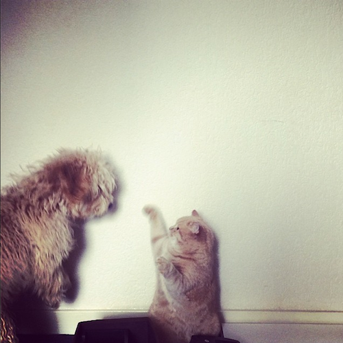 cockapoo puppy and british shorthair cat