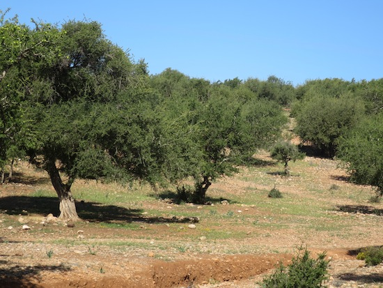 argan trees in agadir morocco