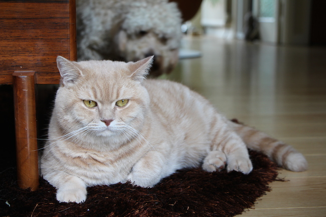 mr bear the british shorthair cat