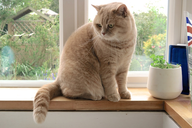 mr bear the cream british shorthair cat