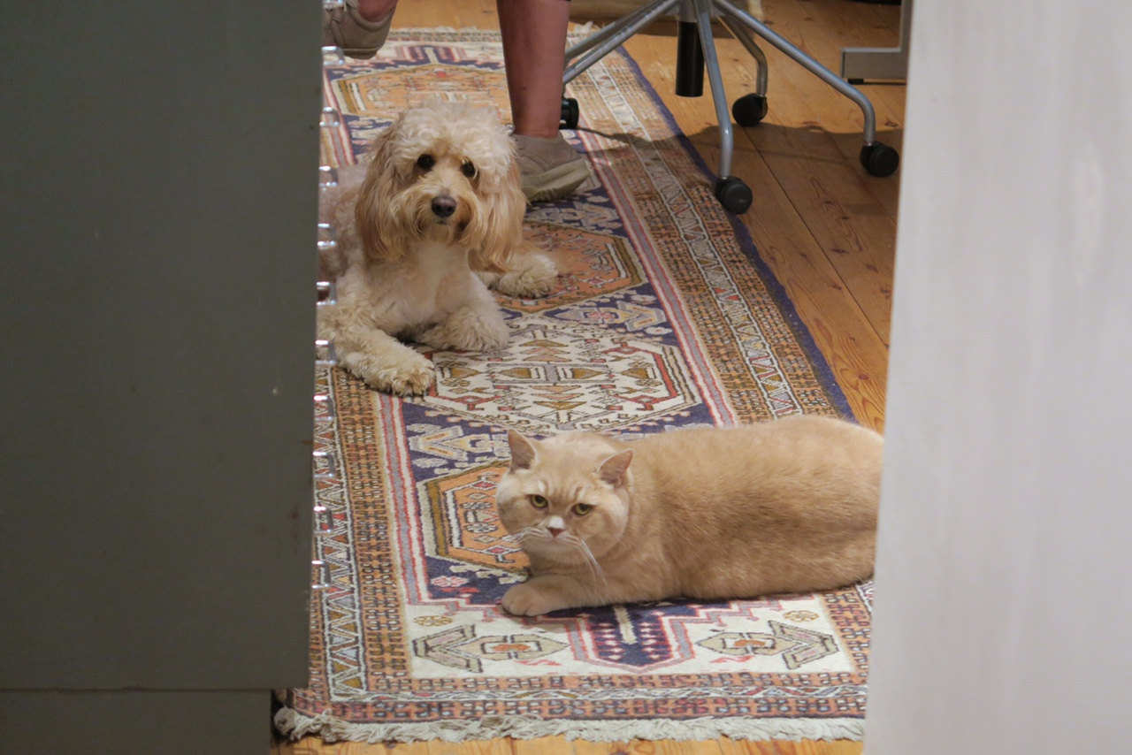 cockapoo and british shorthair